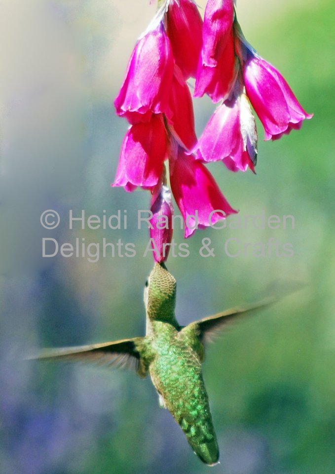 Hummingbird at red flower. Greeting card 1011