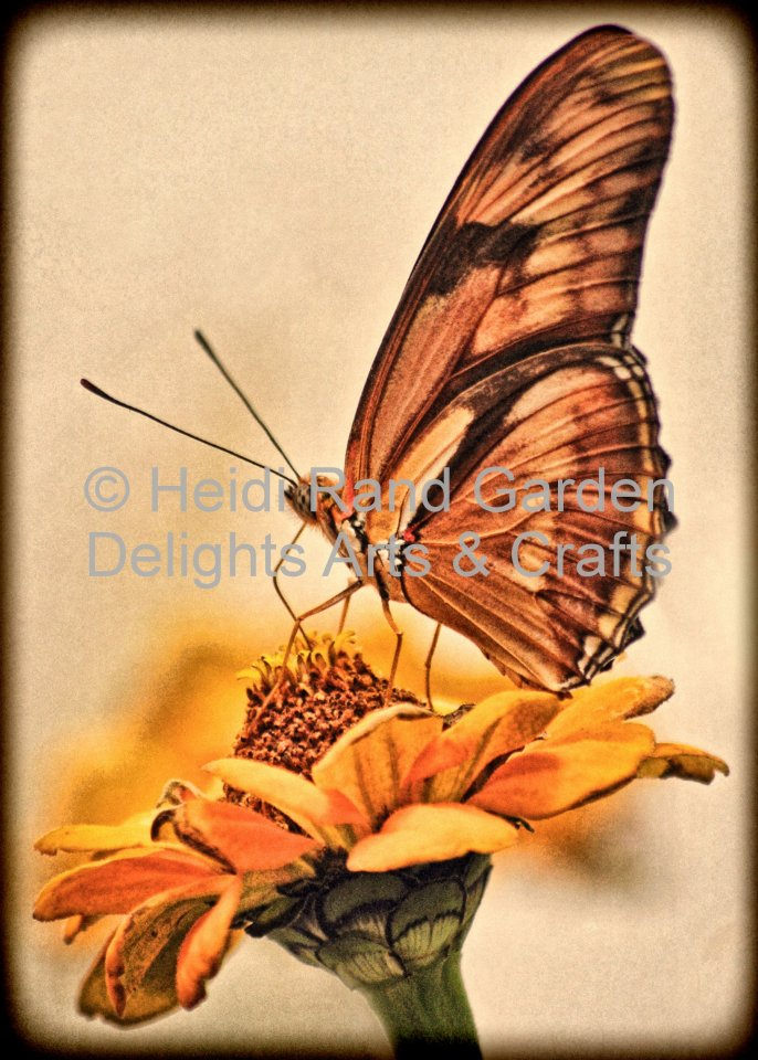 Julia butterfly on zinnia. Greeting card 1057
