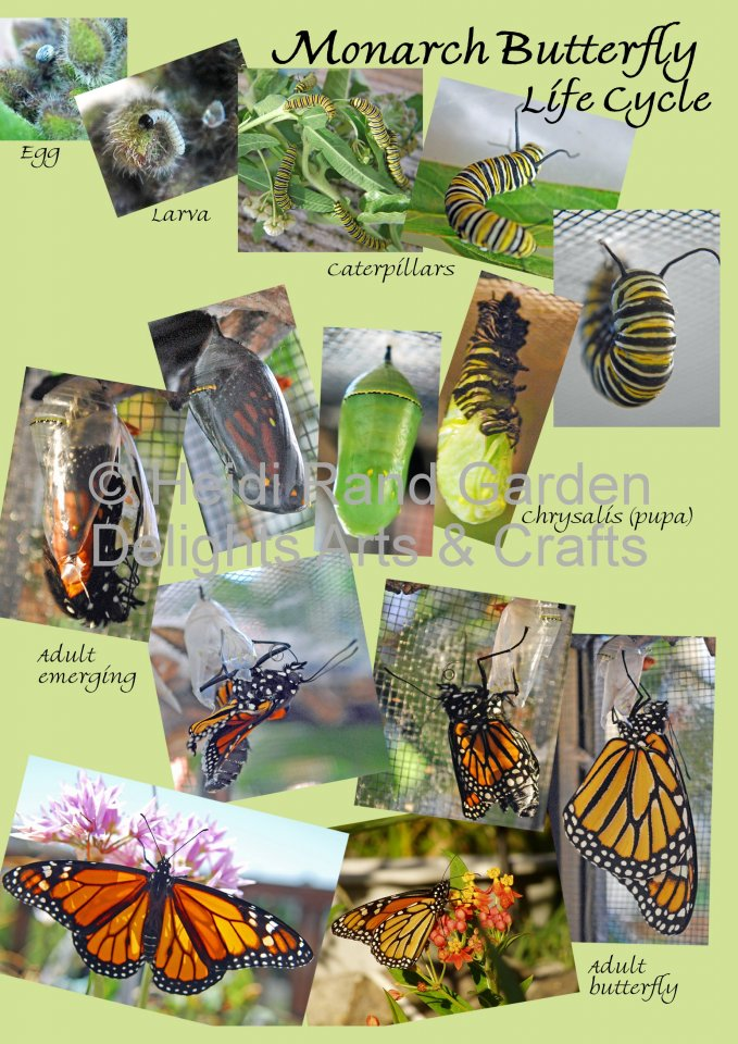 Monarch life cycle. Greeting card 1054