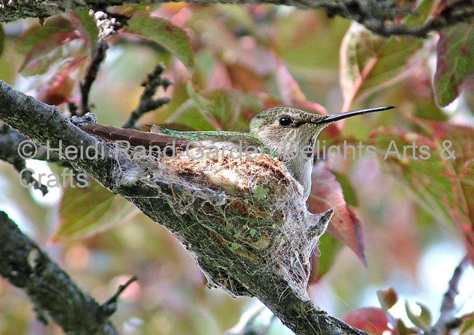 Mother hummingbird on nest. Greeting card 1001.