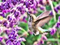 Hummingbird at Sage. Greeting card 1017