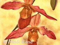 Phragmipedium noirmont orchid GR1090