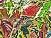 Hummingbird at abutilon. Greeting card 1016