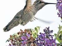 Hummingbird at buddleia. Greeting card 1003