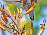 Hummingbird at flax flower. Greeting card 1004
