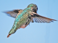 Hummingbird hovering against blue sky. Greeting card 1013
