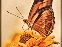 Julia butterfly on zinnia. Greeting card 1057
