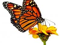 Monarch on zinnia. Greeting card 1055
