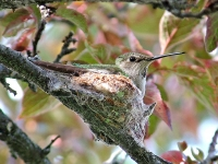 Mother hummingbird on nest. Greeting card 1001.