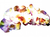 Rainbow Phalaenopsis Orchids. Greeting card 1086