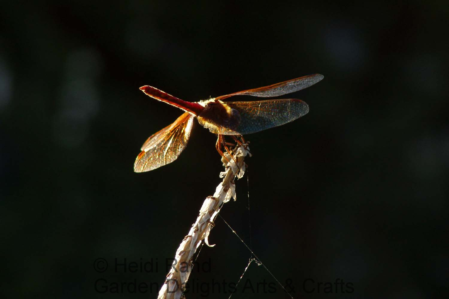 Scarlet darter dragonfly glowing