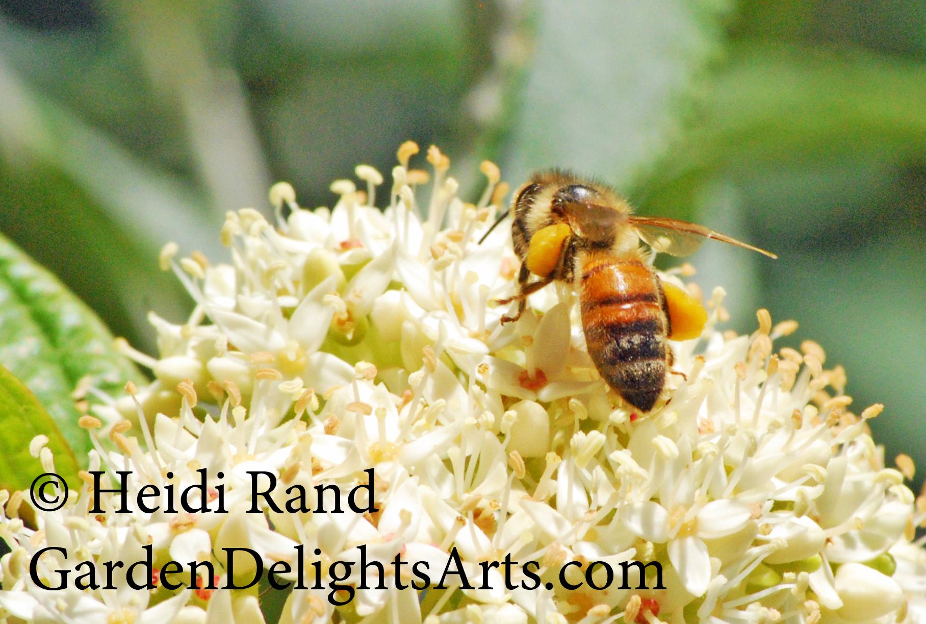 Honeybee on Dogwood