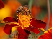 Honeybee on velvety flower