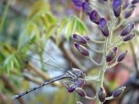 Blue darning needle on wisteria