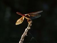 Scarlet darter dragonfly glowing
