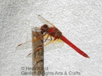 Scarlet darter dragonlfy on stick