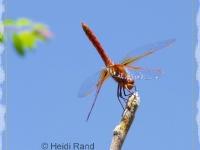 Scarlet darter dragonfly against sky