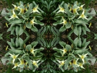 Fawn lilies kaleidoscope