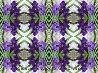 Vanda purple kaleidoscope