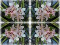White and pink cymbidiums kaleidoscope
