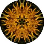rudbeckia-circle-10