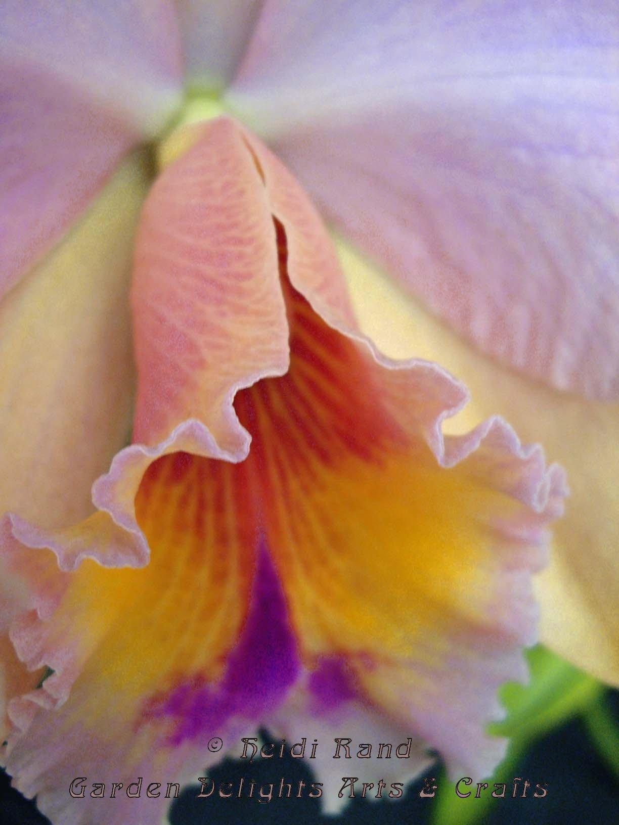 Cattleya bloom