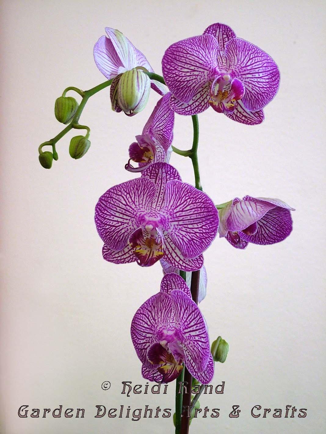 Phalaenopsis Purple and White