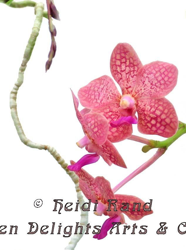 Phalaenopsis With Root