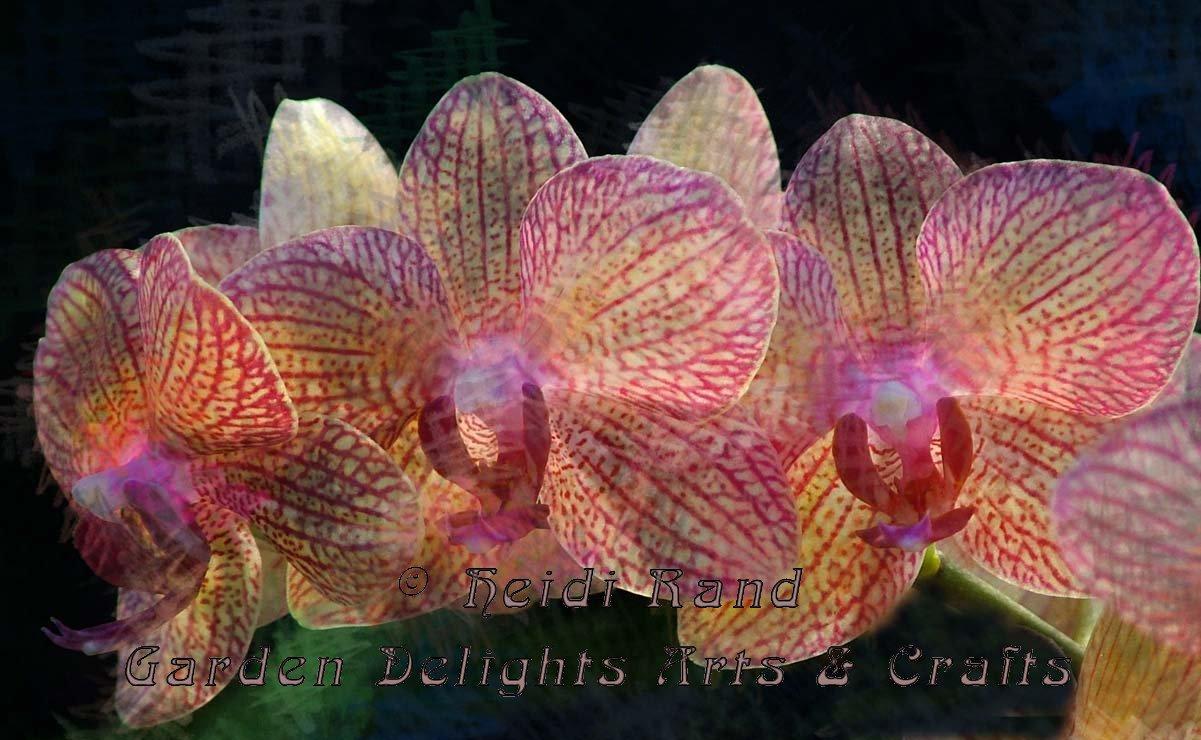 Phalaenopsis Row