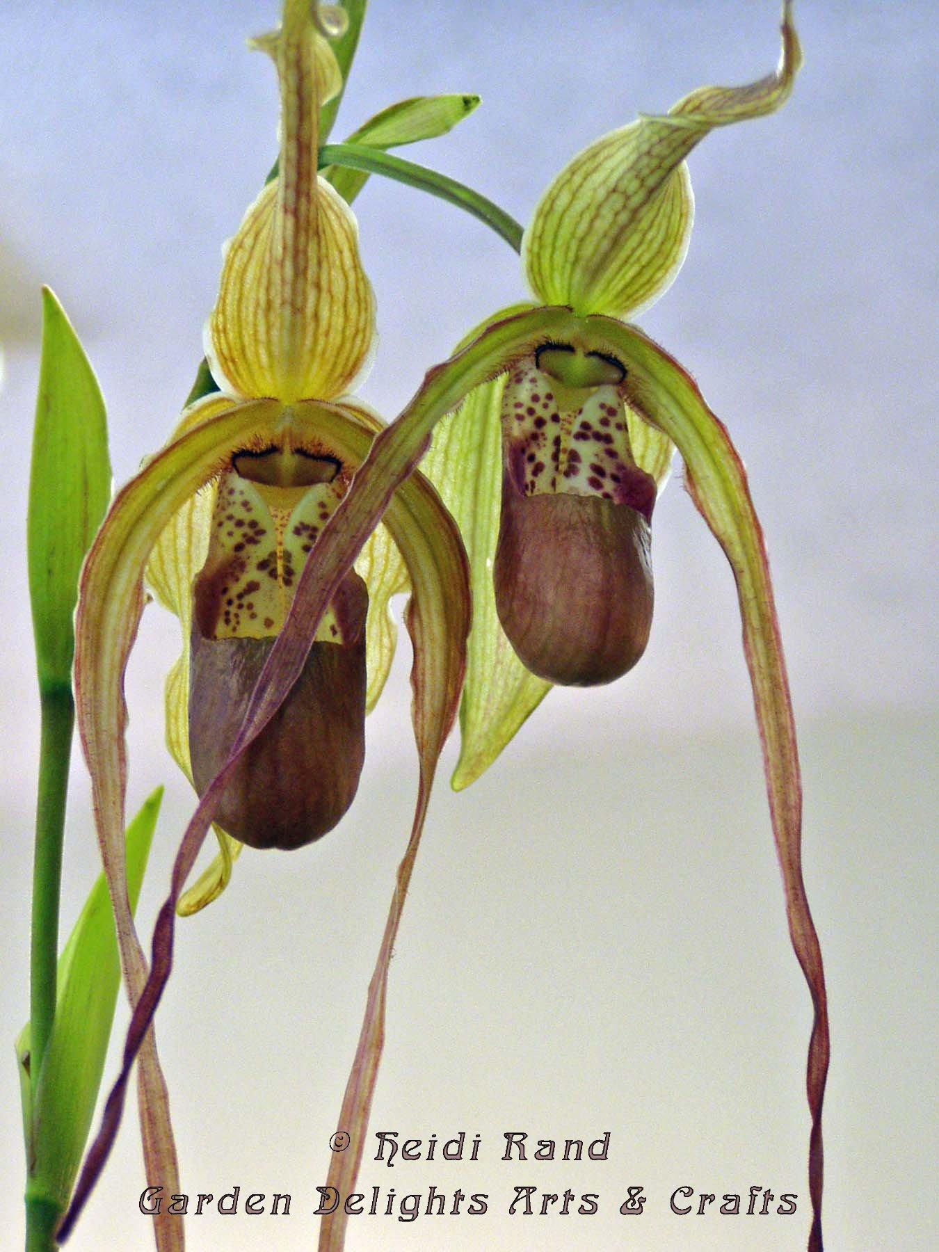Ladyslipper Botanical