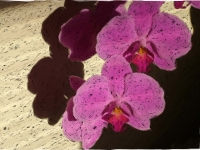 Bright pink phaelanopsis