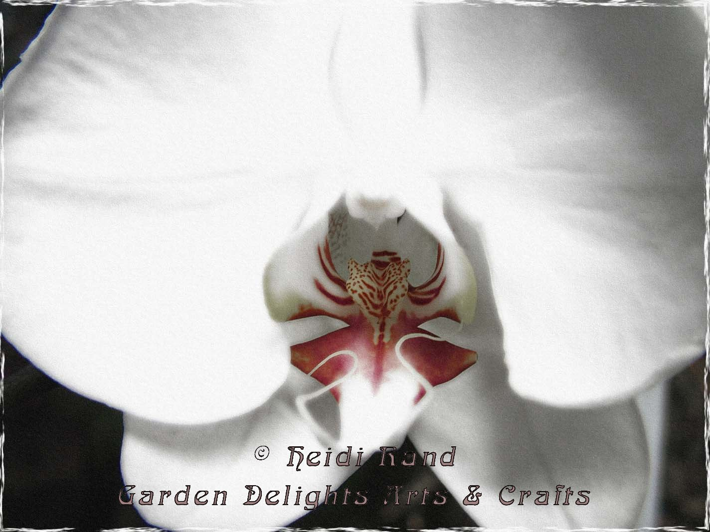 Phalaenopsis Bright White