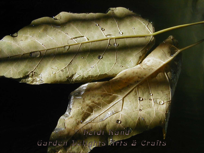 Leaves in pond