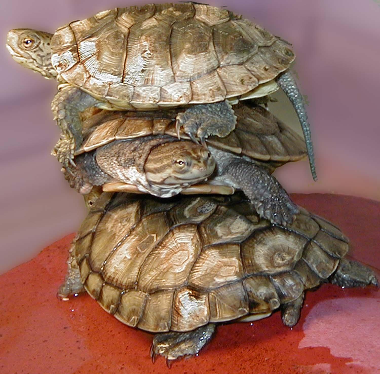 Three  turtles basking