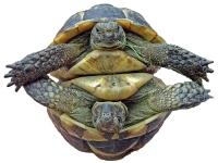Tortoise round